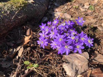 sinivuokot kukkii