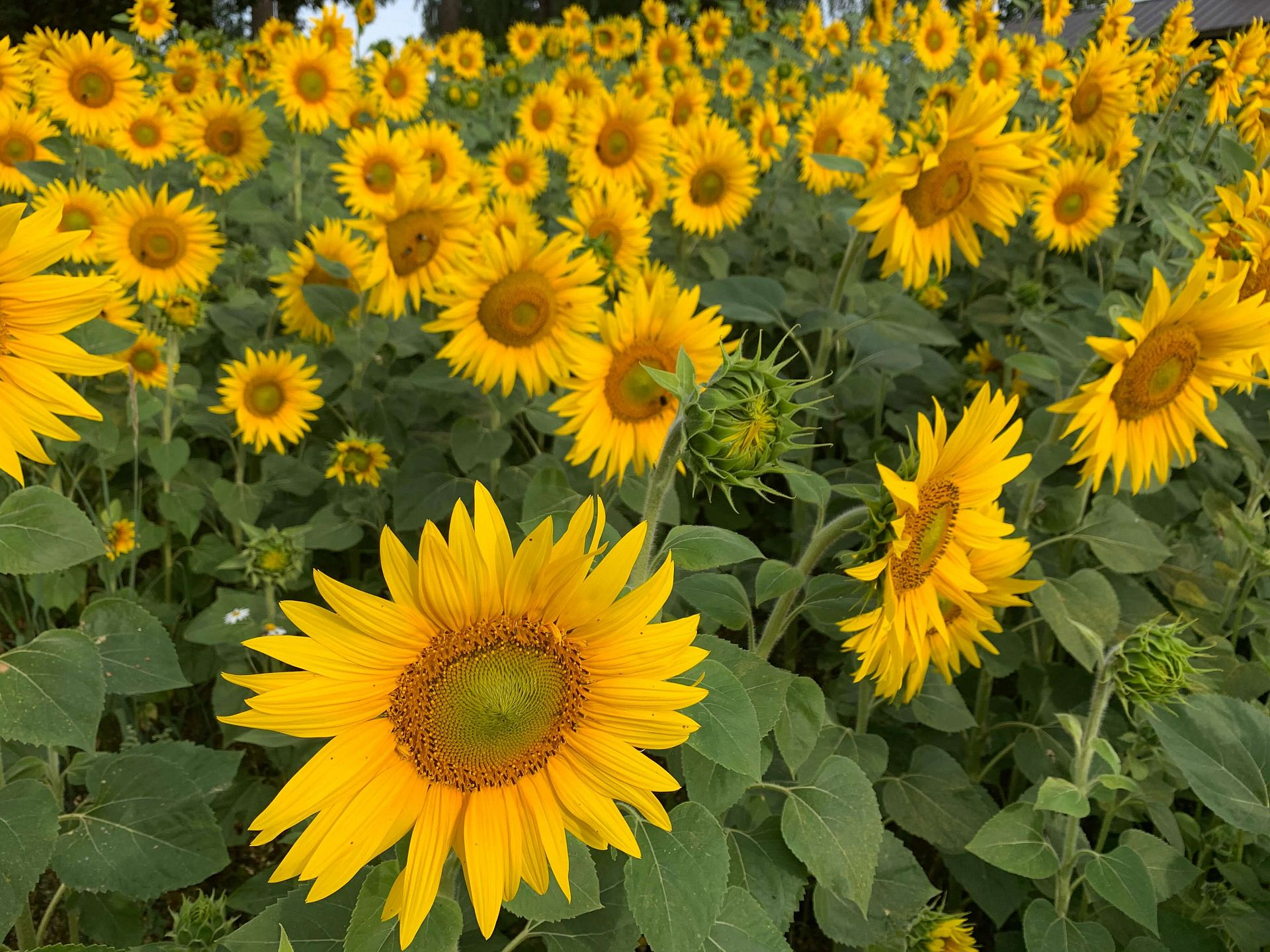 auringonkukat kukkii